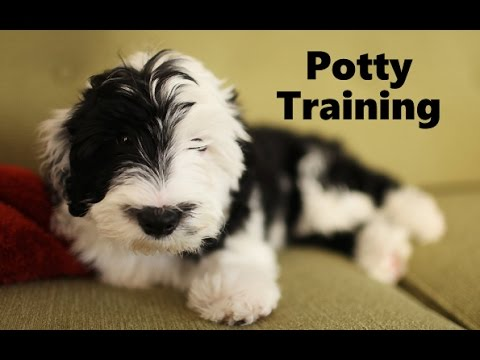 Sheepadoodle Potty Training