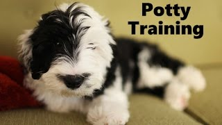 How To Potty Train A Sheepadoodle Puppy - Sheepadoodle House Training - Sheepadoodle Puppies