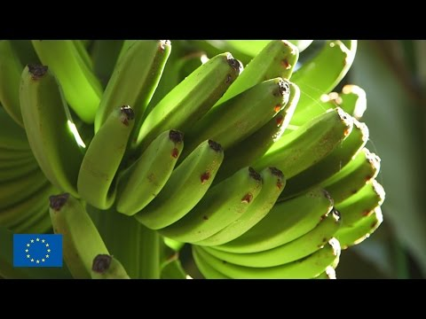 Agriculture in the Canaries is completely bananas