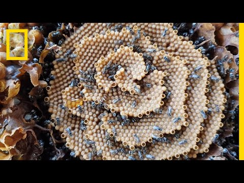 See the Unique Spiral Hives of the Australian Stingless Bee | National Geographic