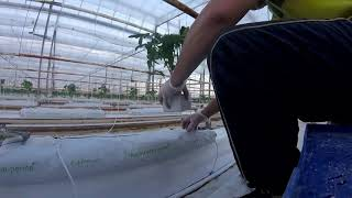 Praca w Holandii. Sadzenie pomidorów w małej szklarni. Praca w szklarni