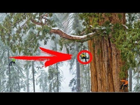 Самые высокие деревья в мире