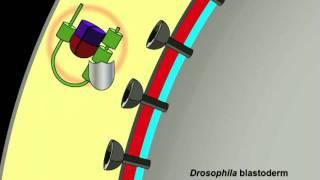 Peluso et al.: Shaping a Morphogen Gradient