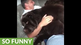Giant Newfoundland demands scratches from owner