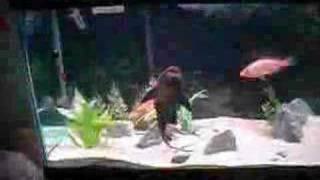 American Cichlid Aquarium
