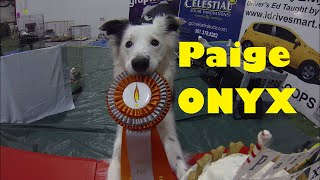 Paige gets her ONYX 20k Flyball Title