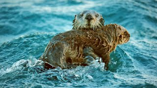 Sea Otters Hold Hands To Survive The Dangers Of The Open Ocean | BBC Earth