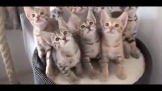 УЛЕТНЕ кошки, развлекают