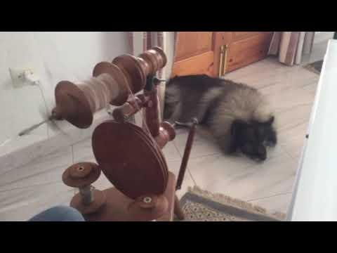 Plying Keeshond Dog Fur on a Peacock Spinning Wheel