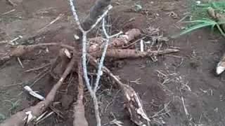 Cassava Cultivation in Rwanda