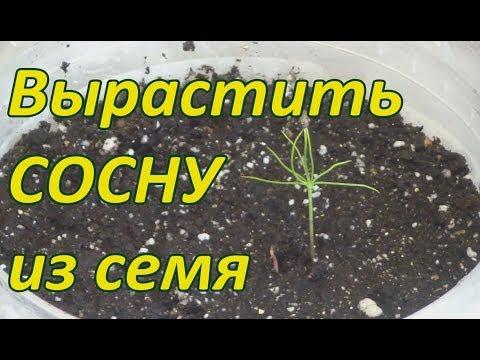 Как посадить сосну в домашних условиях из семян