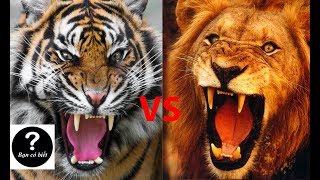 Hổ vs Sư tử, con nào sẽ thắng #2 || Bạn Có Biết?