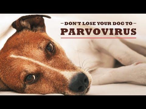 Home Remedy For Parvo Virus Youtube