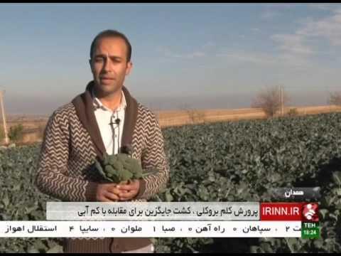 Iran Hamadan province, Broccoli vegetable cultivation كاشت كلم بروكلي استان همدان ايران