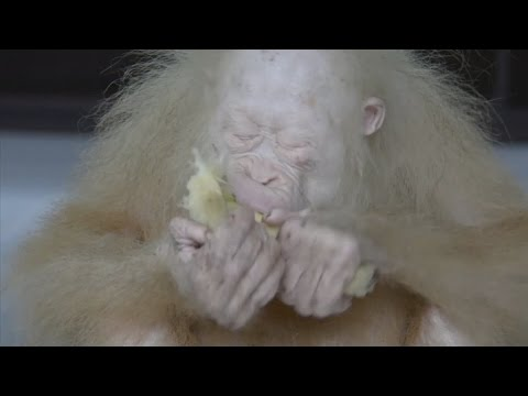 Help needed to name this cute rare albino orangutan rescued in Indonesia!
