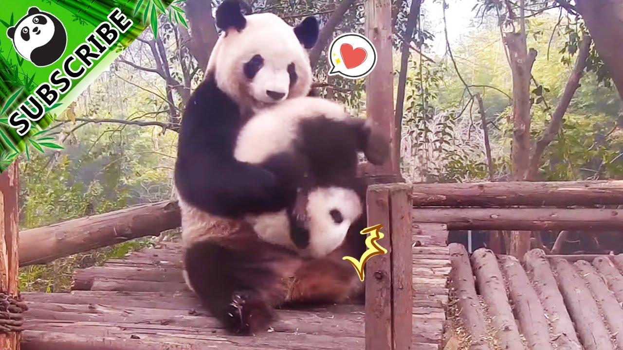 【panda Theme】baby Panda And Mom Ipanda Youtube