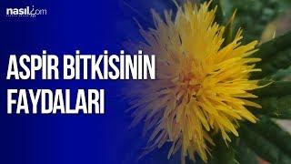 Aspir Bitkisi'nin Faydaları | Sağlık | Nasil.com
