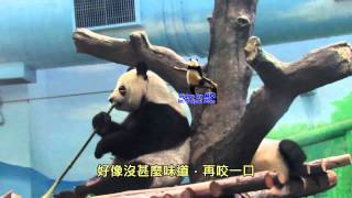20141026圓圓幫圓仔鑑定食物The Giant Panda Yuan Zai abd Yuan Yuan