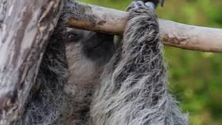 Elsie the sloth