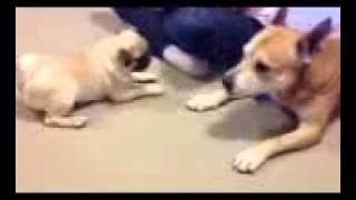 Pug And Staffy Playing
