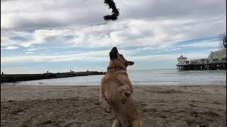 10 cosas que necesitamos saber de los AUSTRALIAN CATTLE DOGS