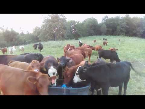 How Cattle Are Moved Daily On A Grass Fed Farm