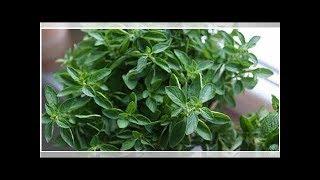 Oregano Tea Recipe To Heal Strep Throat, Sinusitis, & Infections
