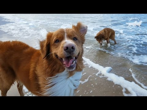 Two Happy Dogs on the Beach, Nova Scotia Duck Tolling Retrievers