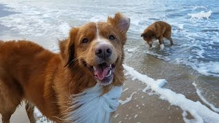 Two Happy Dogs on the Beach, Nova Scotia Duck Tolling Retrievers