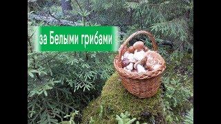 За Белыми грибами в лес