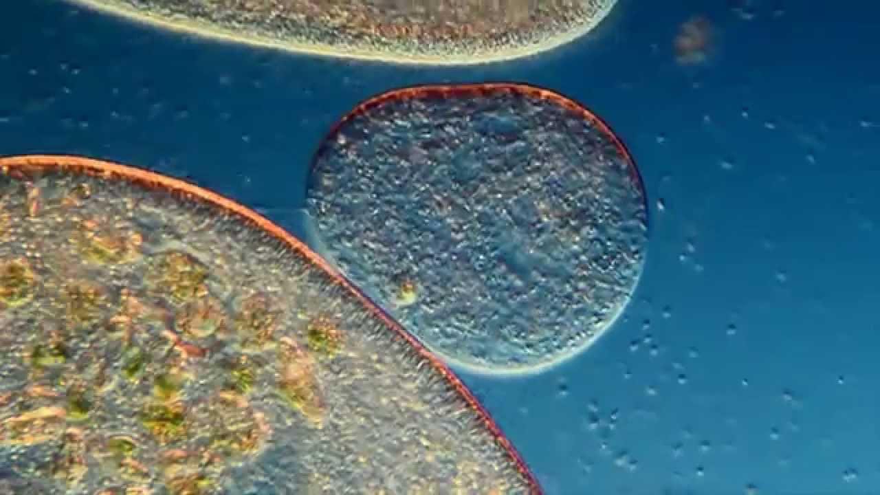 """External """"Vacuole"""" Formation in Paramecium aurelia. 250 ..."""