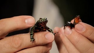 Firebelly Toad Firebelly Newt Care