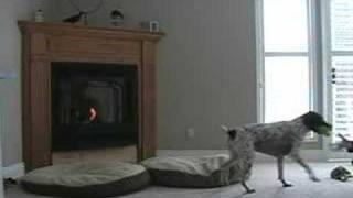 German Shorthaired Pointer Jumps Around