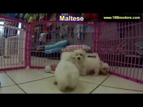 Chow Chow Puppies Dogs For Sale In Miami Florida Fl 19breeders Tallahassee Gainesville