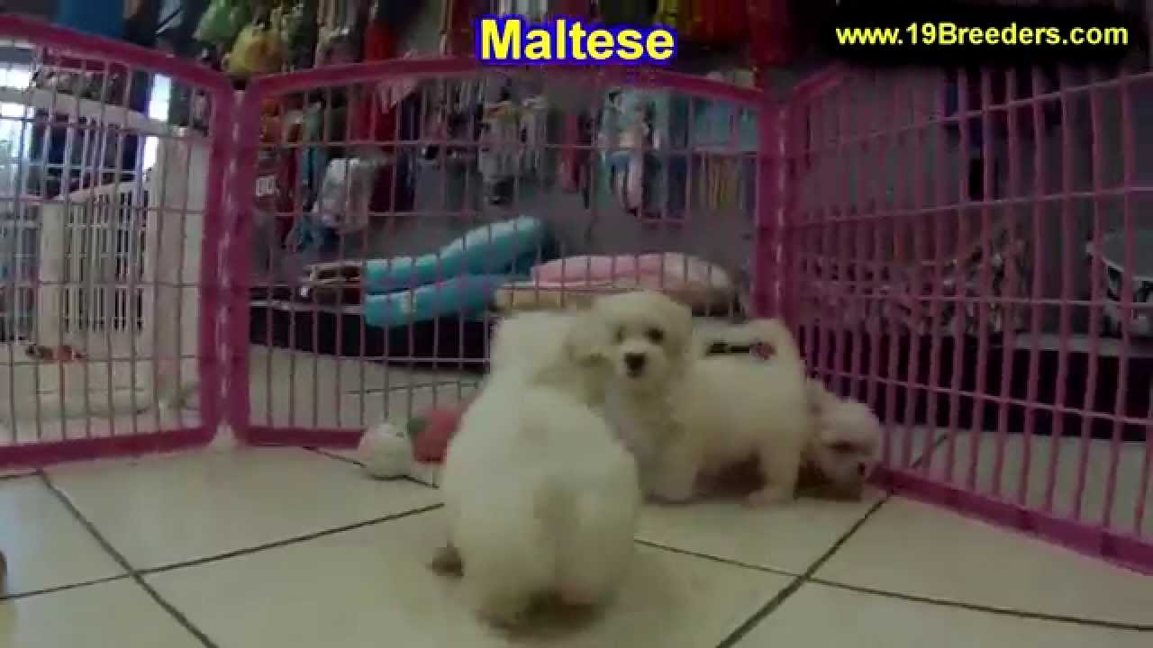 Maltese, Puppies, Dogs, For Sale, In Birmingham, Alabama, AL, 19Breeders,  Huntsville, Dothan