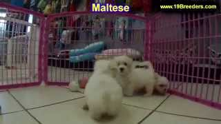 Maltese, Puppies, For, Sale, In, Birmingham, Alabama, Al, Montgomery, Tuscaloosa, Jefferson, Shelby,