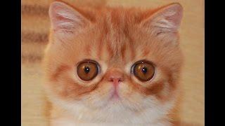 Экзотическая короткошерстная кошка. (экзот)