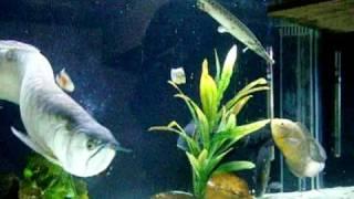 aquário de carnívoros....aruanã gigante 65 cm....monster fish!!!!