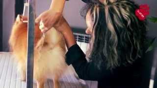 Груминг на малък немски шпиц - PETS&U