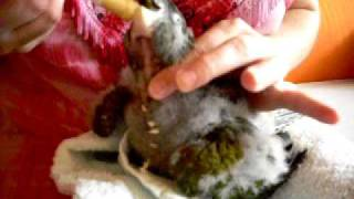 Pata B video 8 5 09 Papoušek patagonský