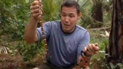 JCE Coral Snake vs Scarlet King Snake