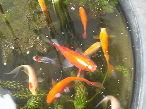 Bonsai pond la pappa dei pesci rossi youtube for Pesci rossi laghetto