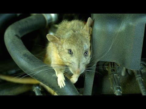 how to get rid of rats in car engine