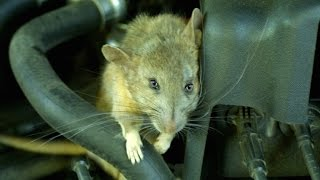 Mutant Rats Ate My Car!!