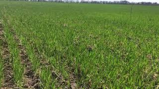 Пшеница. Весна 2018