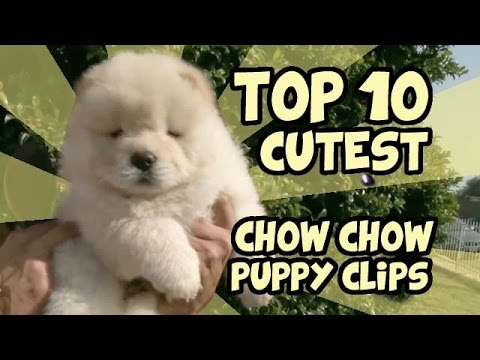 TOP 10 CUTEST CHOW CHOW PUPPY VIDEOS OF ALL TIME