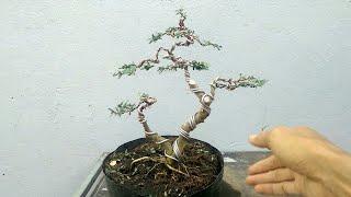 Uốn tạo dáng cho cây linh sam 2 thân.