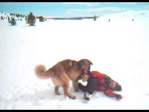 Leonberger attack girl - YouTube Leonberger Attack