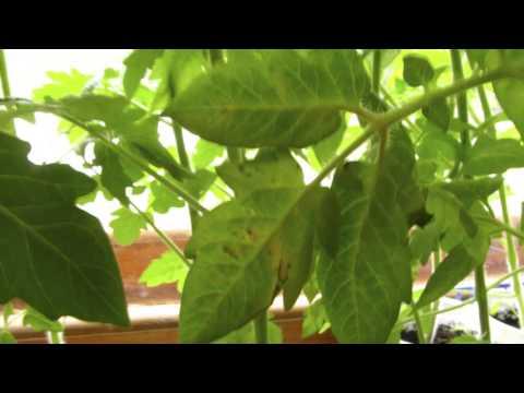Почему синеют листья у помидор в теплице? Магия растений