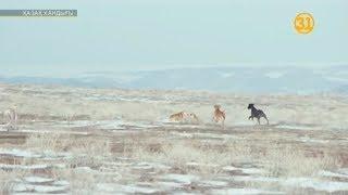 Охота тазы на лису. Тазымен тулкы аулау. Greyhound hunting.